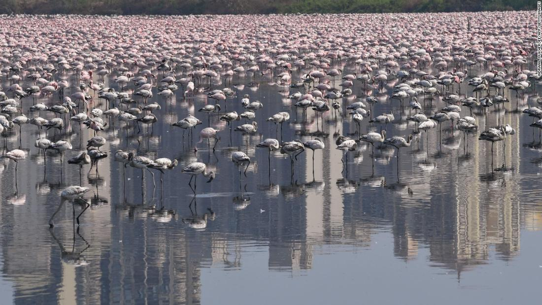 tens-of-thousands-of-flamingos-flock-to-locked-down-mumbai