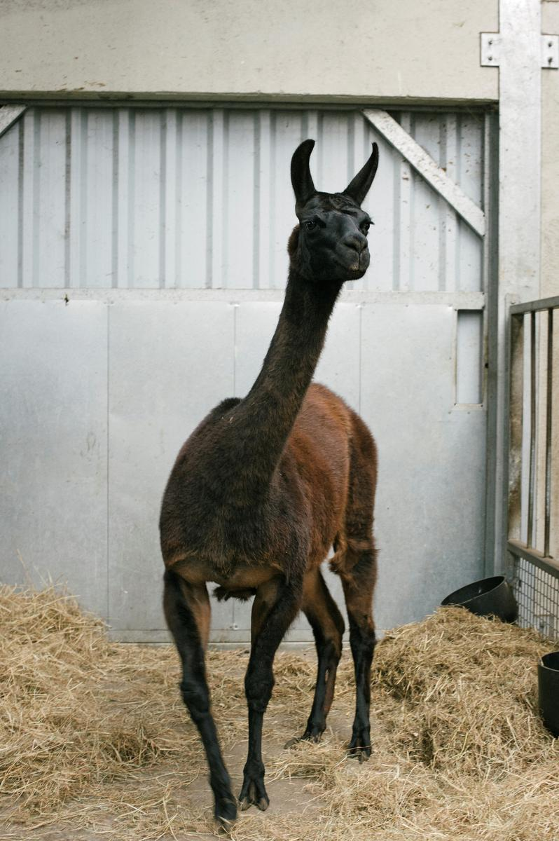 belgian,-us.-scientists-look-to-llama-in-search-for-covid-19-treatment
