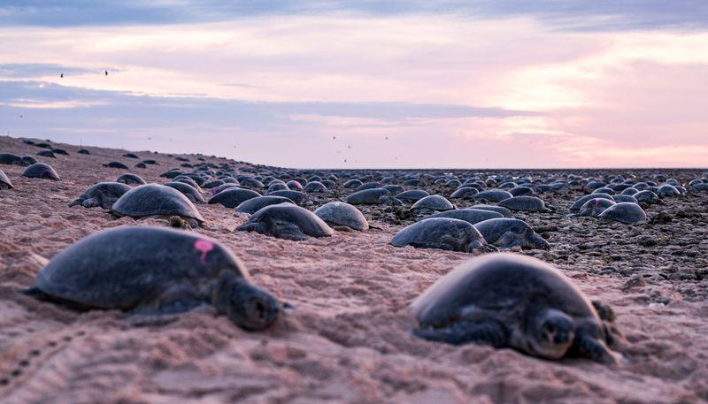 world's-largest-green-turtle-colony-nearly-twice-as-big-as-thought