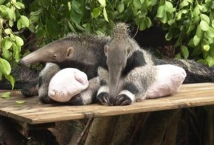see-how-these-adorable-giant-anteaters-made-their-zoo-debut