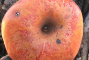 a-20-year-hunt-to-find-an-extinct-fruit