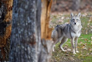 coyote-tests-positive-for-rabies
