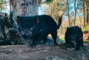 tasmanian-devils-are-returning-to-australian-mainland-after-3,000-years