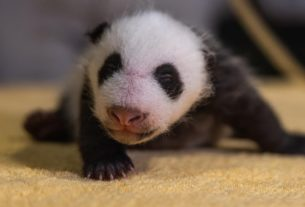 the-national-zoo-confirms-its-new-baby-panda-is-a-boy
