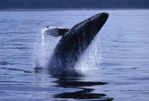 humpback-whales-have-made-a-comeback-in-nyc