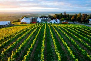 thieves-stripped-a-vineyard-of-grapes-the-night-before-harvest