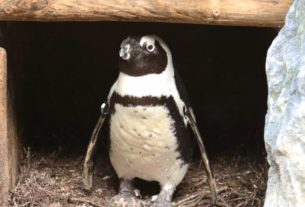 drama-at-the-zoo:-egg-napping-male-penguin-couple-steals-the-nest-of-a-female-penguin-couple