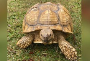 a-200-pound-tortoise-named-sparkplug-broke-out-of-his-enclosure-and-wound-up-30-miles-away-from-his-alabama-home