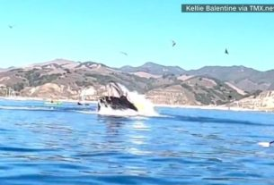 a-humpback-whale-almost-swallows-kayakers-near-a-california-beach