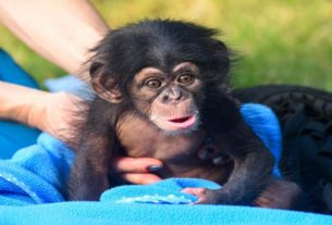 say-hello-to-maisie!-maryland-zoo's-newest-chimpanzee