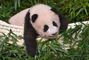 blackpink's-video-with-giant-panda-cub-sparks-outrage-in-china