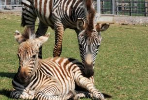 a-baby-zebra-died-after-being-startled-by-fireworks