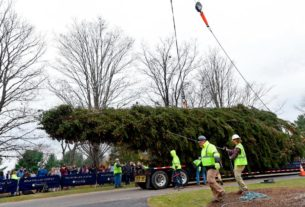 the-future-rockefeller-christmas-tree-was-cut-down,-and-it's-on-its-way-to-manhattan
