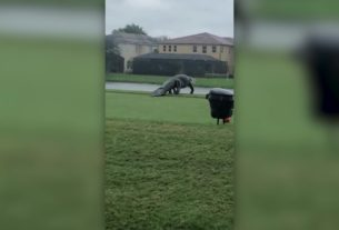 giant-alligators-are-being-spotted-in-florida