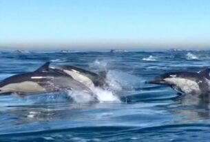 dolphin-'stampede'-caught-on-camera
