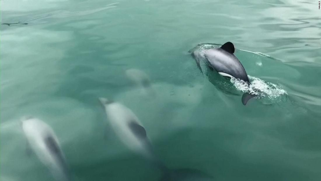 world's-rarest-marine-dolphin-finds-protection-in-this-flying-friend