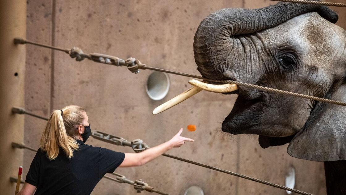claire,-the-elephant-at-omaha's-zoo,-is-pregnant