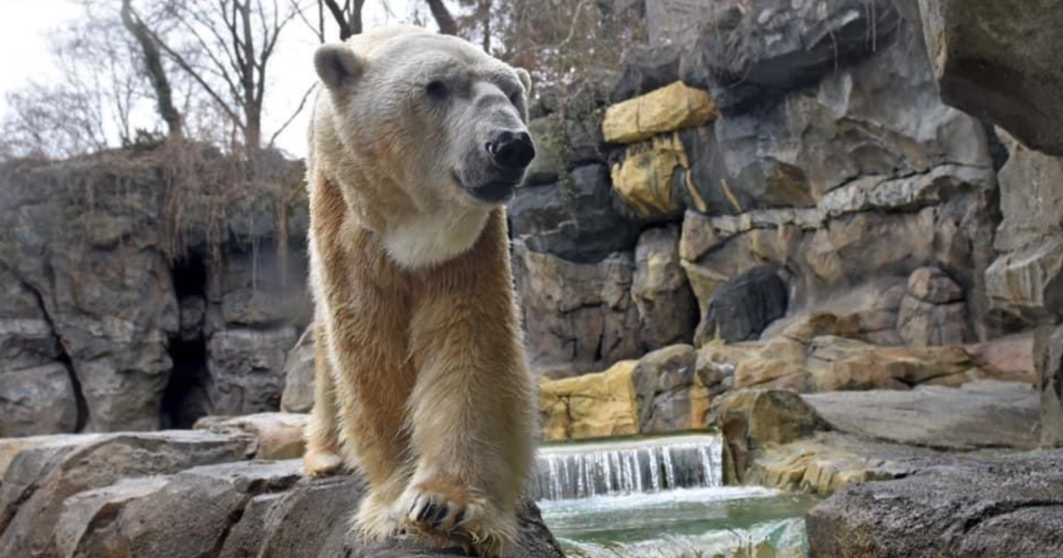 polar-bear-humanely-euthanized-after-diagnosis