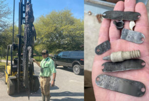 12-foot-alligator-killed,-items-found-in-stomach