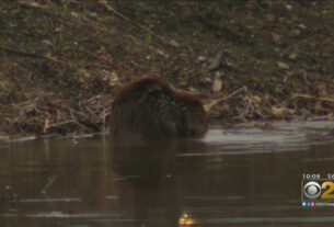 residents-want-to-save-nuisance-beavers