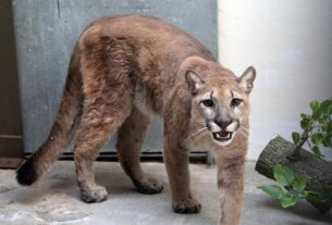 cougar-kept-as-illegal-pet-removed-from-home