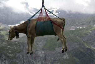 see-cows-airlifted-over-swiss-meadows