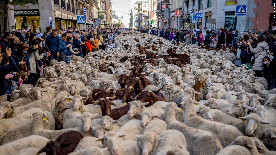 sheep-replace-cars-as-they-cross-madrid-en-route-to-winter-pastures